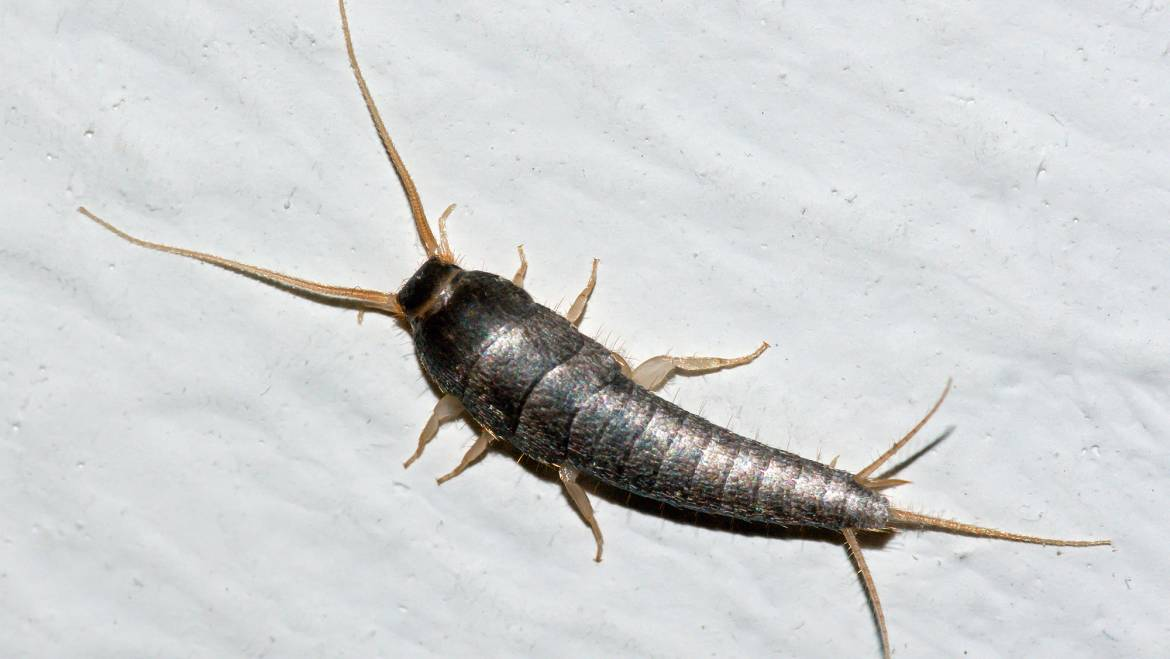 4 Fun Facts About Silverfish