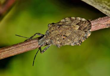 7 Things You Didn't Know About Stink Bugs