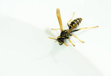 4 Most Common Wasps in the PNW