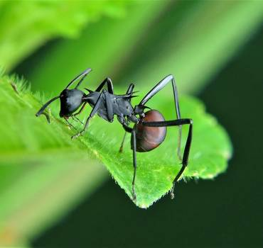 Carpenter Ant Extermination