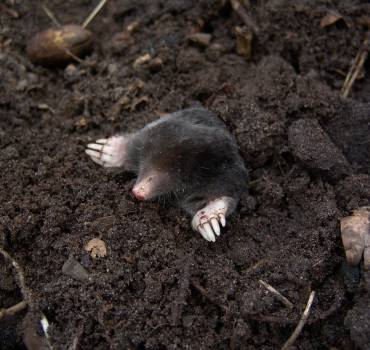 Mole Extermination (Removal)