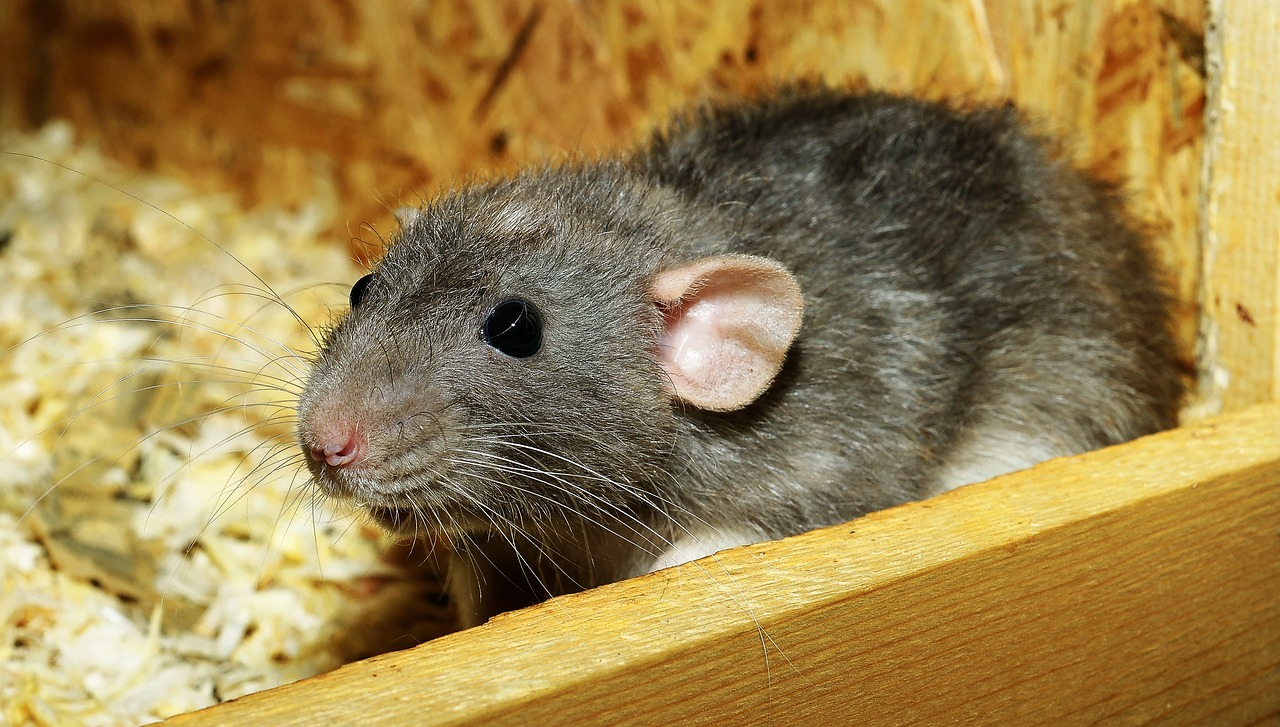 Rat or Mouse Control